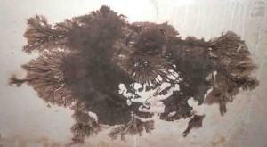 coniophora-pp
